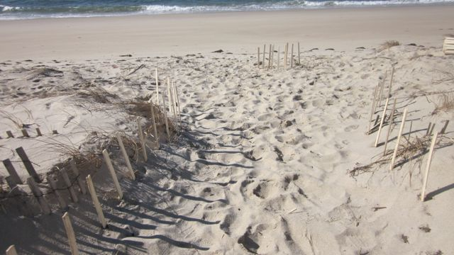 """The 24"""" fencing not only stabilized the area by reducing erosion but it also began collecting a lot of sand."""