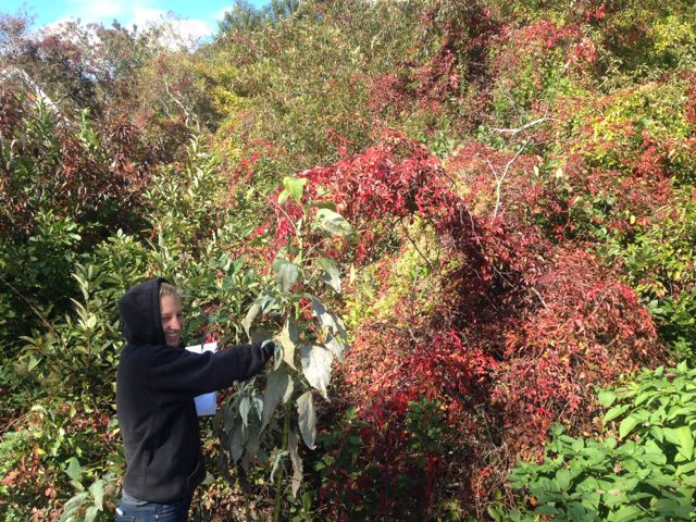 Member of our  field team  identifying and removing invasive species.