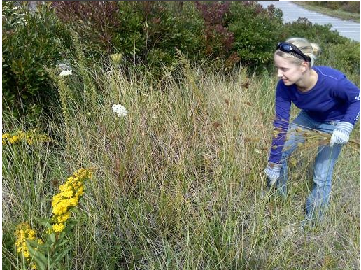 "Our  Intern  Vida, removes Queen Anne's Lace, or ""Wild Carrot"" from a sensitive coastal habitat restoration. This invasive is removed before seeding, by gently (so seeds aren't released) pulling up the stems, root and all."