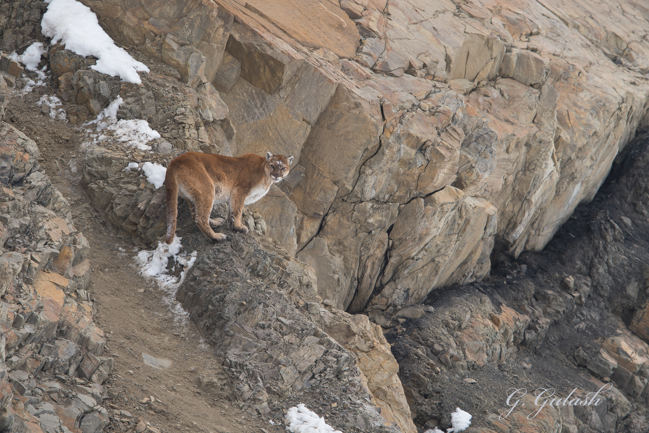 "Mountain Lion in a ""mountainous"" environment."