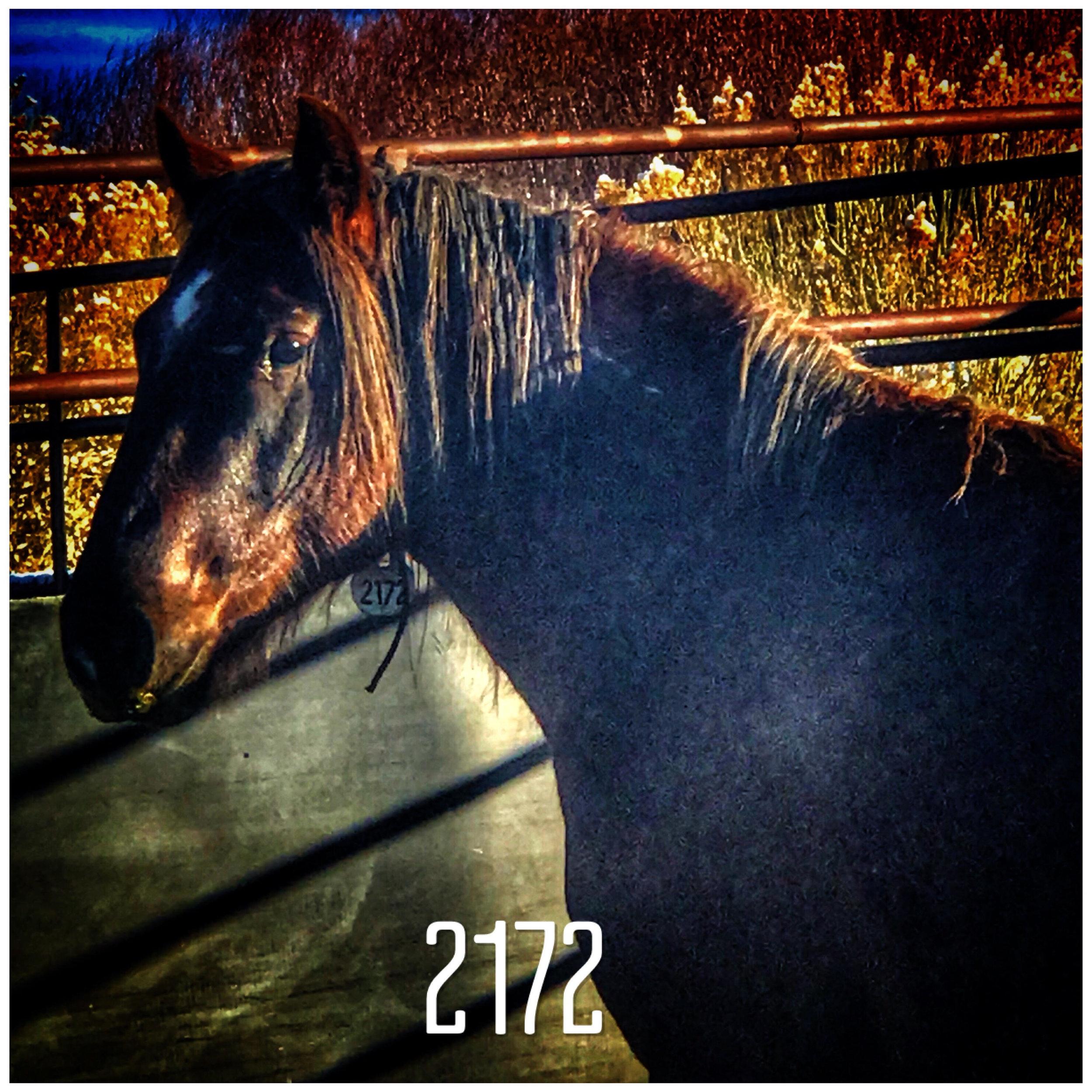 Mustang #2172(2of2).jpg