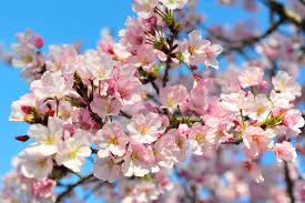 cherry blossom.jpeg
