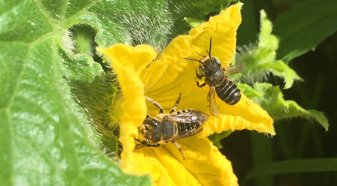 leafcutter female male on tomato.JPG