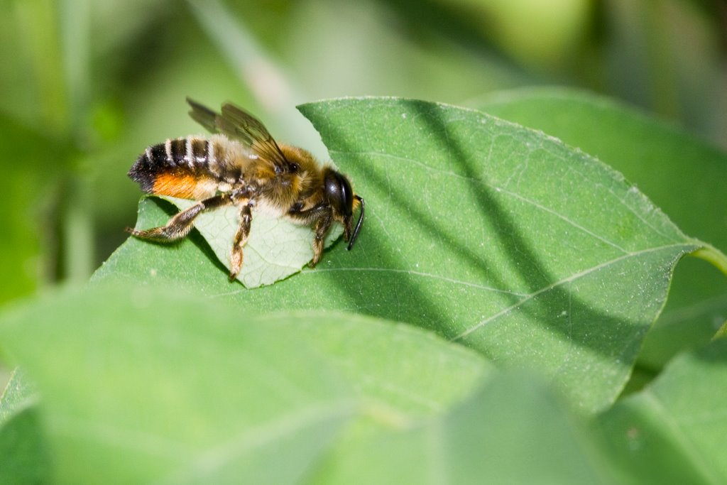 Leafcutter bee gathering leaves to build nesting chambers within the nesting holes
