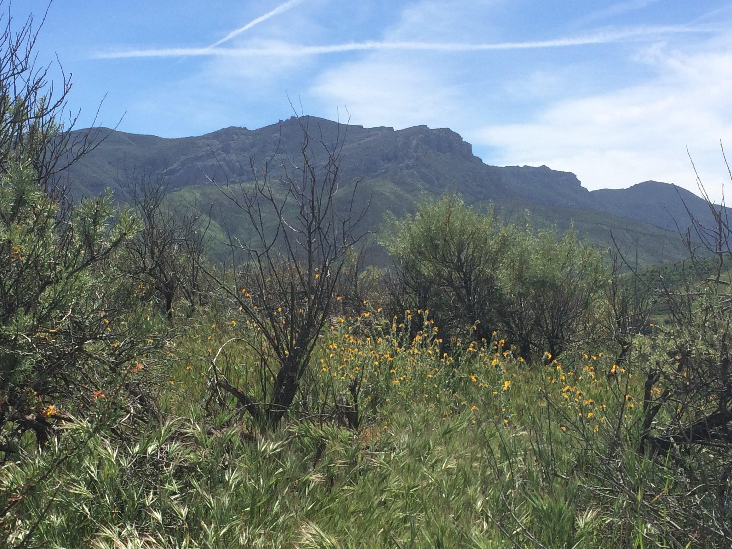 California's native coastal sage scrub has been heavily invaded by nonnative, invasive annual grasses, such as the  Bromus rubens  shown here in the foreground. In the Santa Monica Mountains (pictured here) I've found these annual grasses displace native wildflowers and reduce the establishment of native shrub seedlings.
