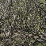 Decoded (octopus bush), 2013, Type c print on alupanel, 127 x 170 cm, ed 5, $4,500