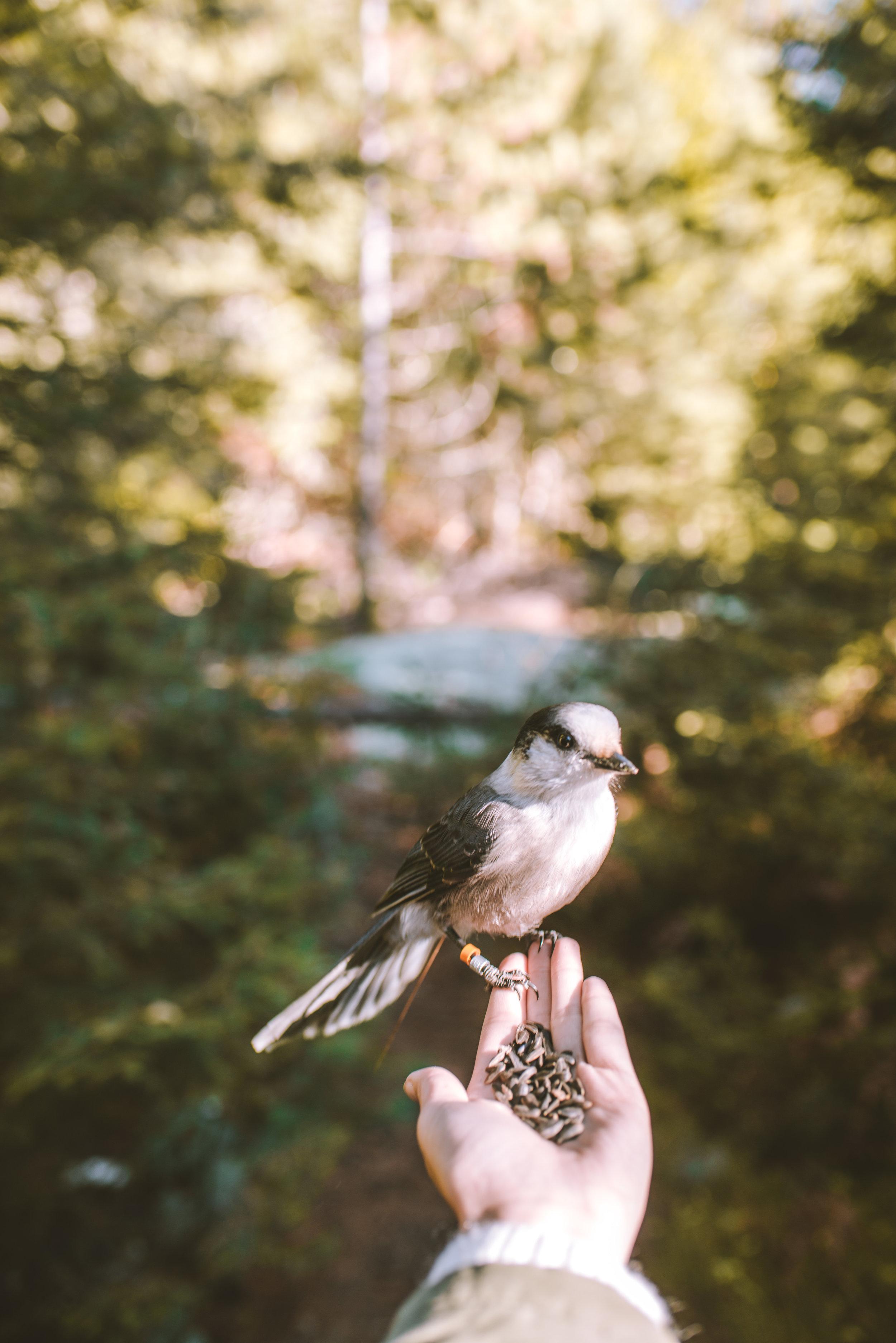 Grey Jay -Algonquin Provincial Park