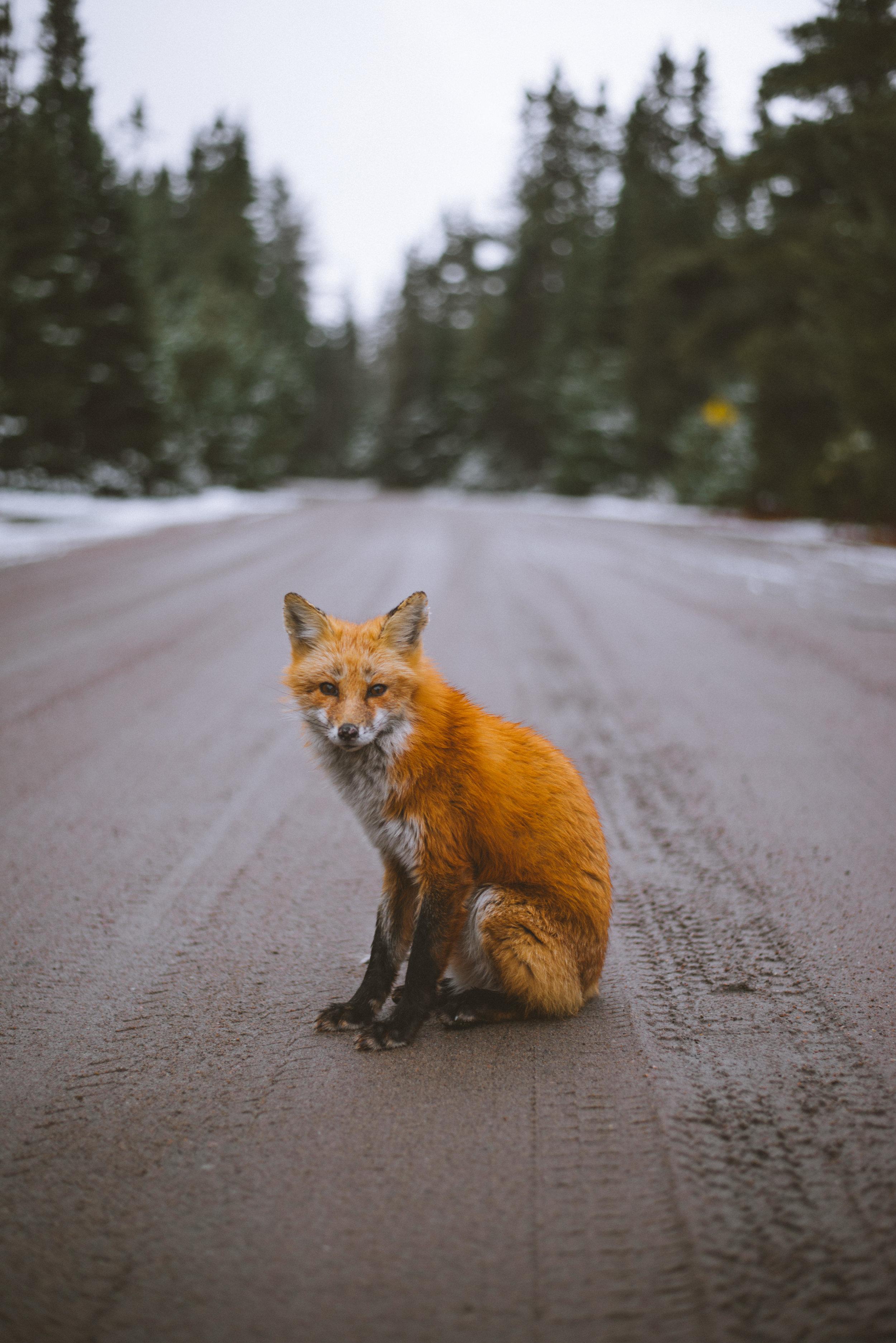 Red Fox -Algonquin Provincial Park