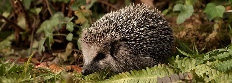© Copyright - The British Hedgehog Preservation Society