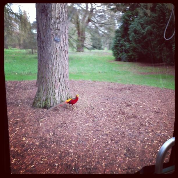 #spotted Golden Pheasants @kewgardens. #birds #nature #wildlife #kewgardens