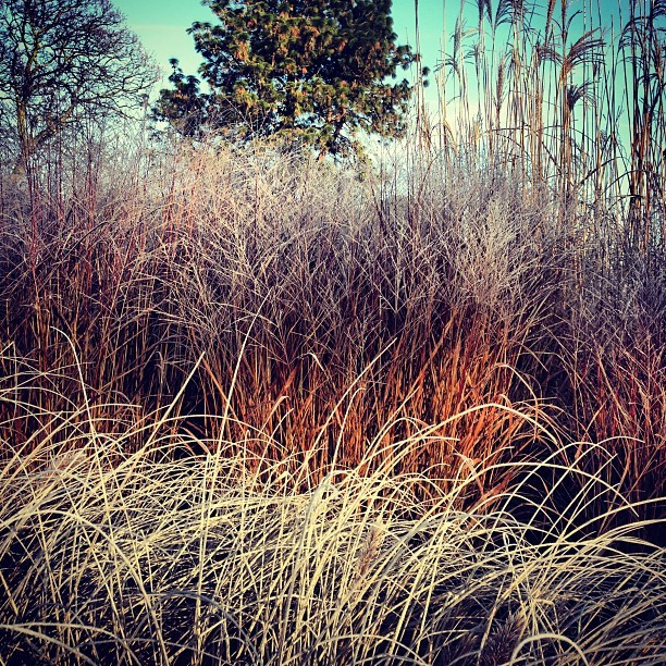 Frost-tipped grasses @kewgardens. I love this place.