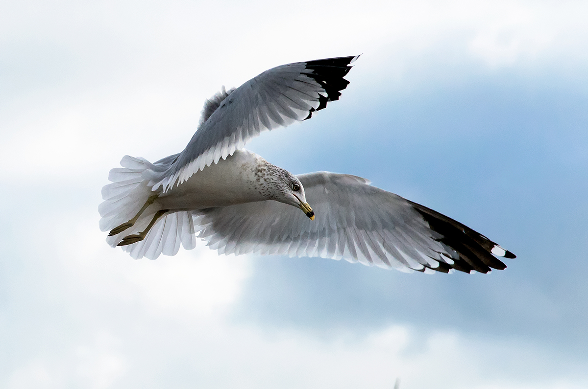 Seagull on the Wing.jpg