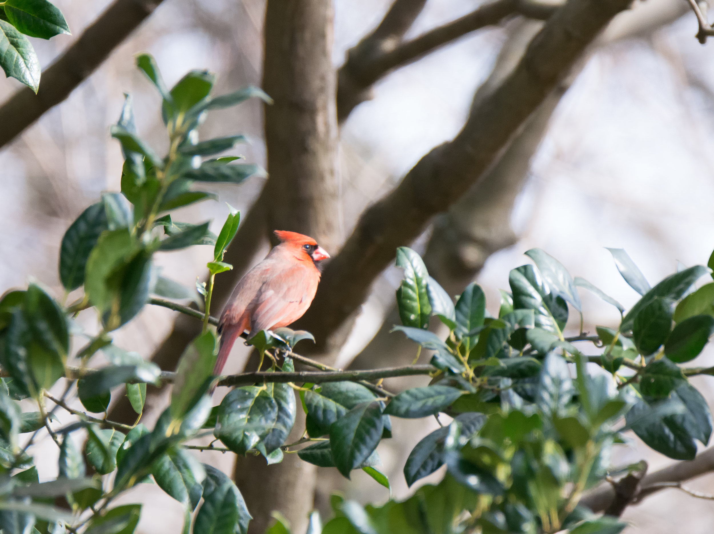 Cardinal on the Evergreen.jpg