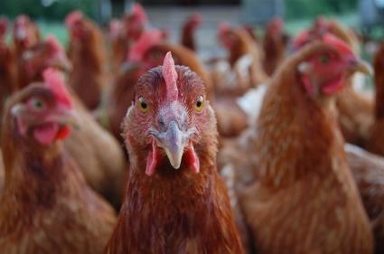 ChickenCloseup.jpg