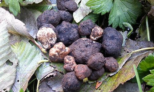 Black Truffle<br>Olive Oil