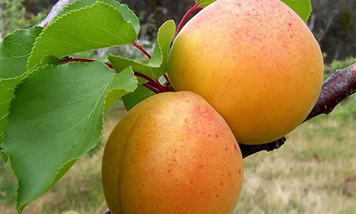 Blenheim Apricot<br>Balsamic