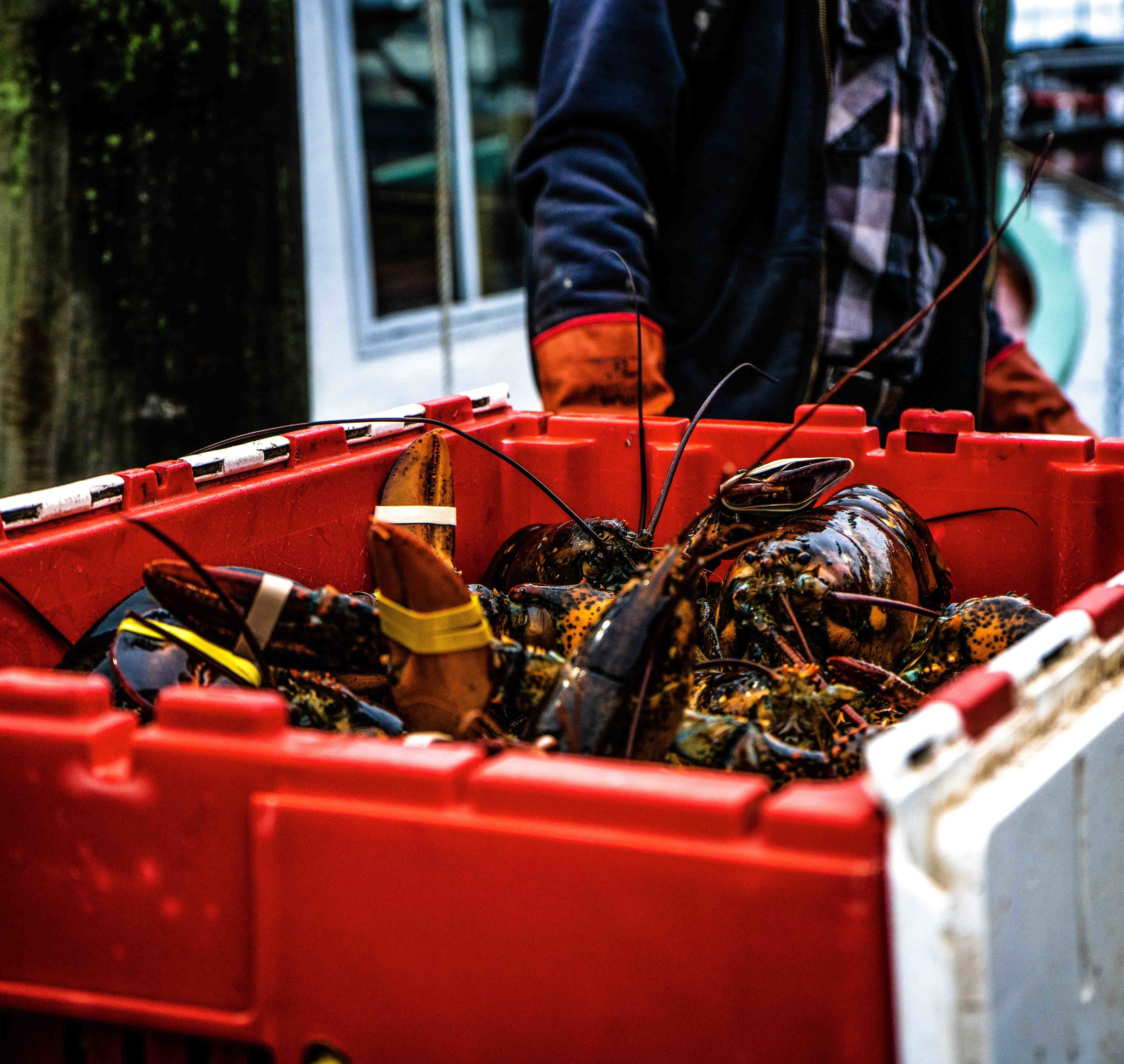 boston wholesale lobster lobser.jpg