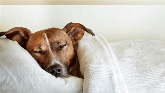 dog-sleeping-in-bed-today-stock-tease-151211_cd9853550900e9ecd3678bd8dd6ead7b.today-inline-large.jpg