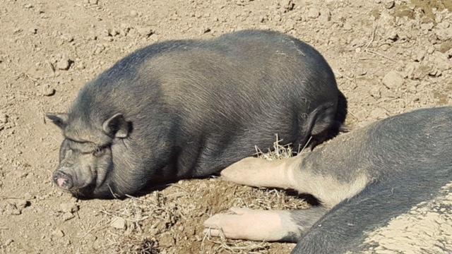 Piggy Sue.JPG