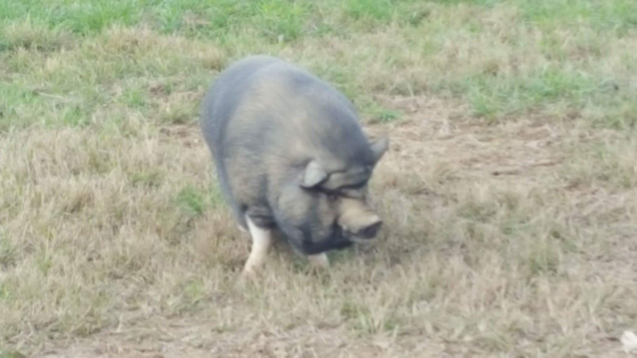 porkchop .JPG