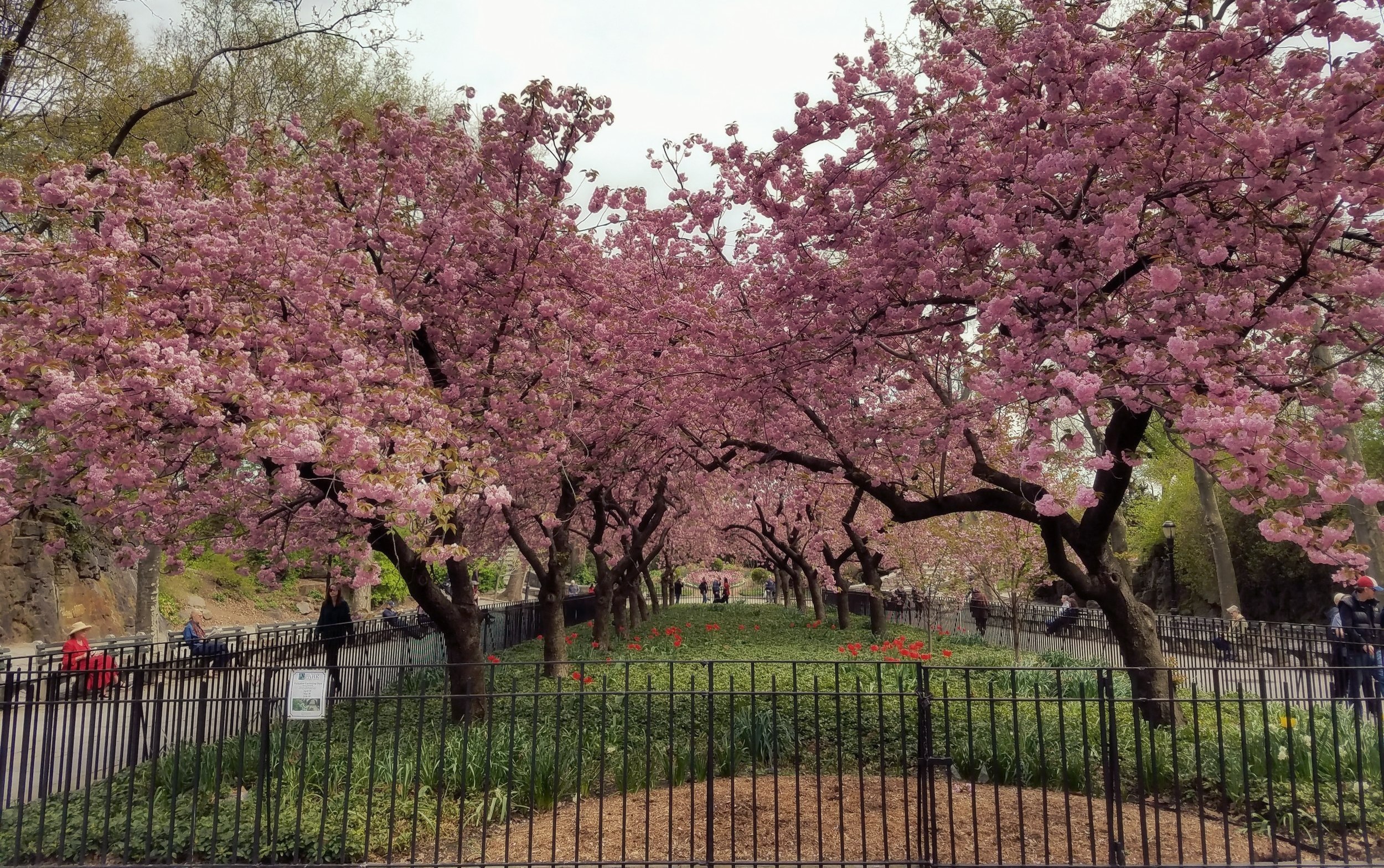 Dogwoods in bloom, Carl Shurz Park