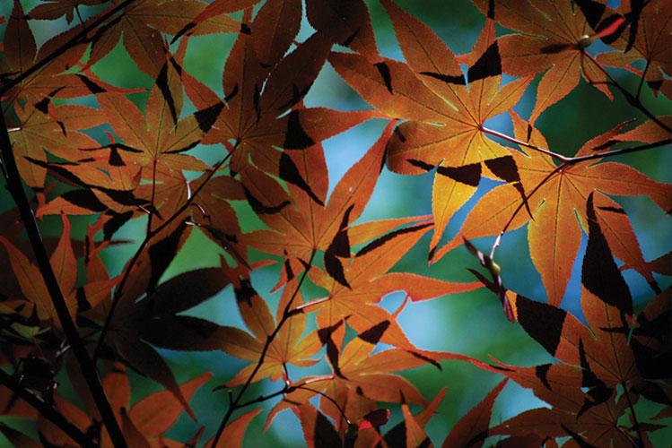 leaves | japan