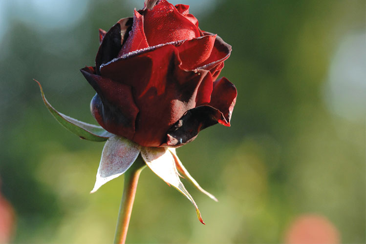 rose | los angeles