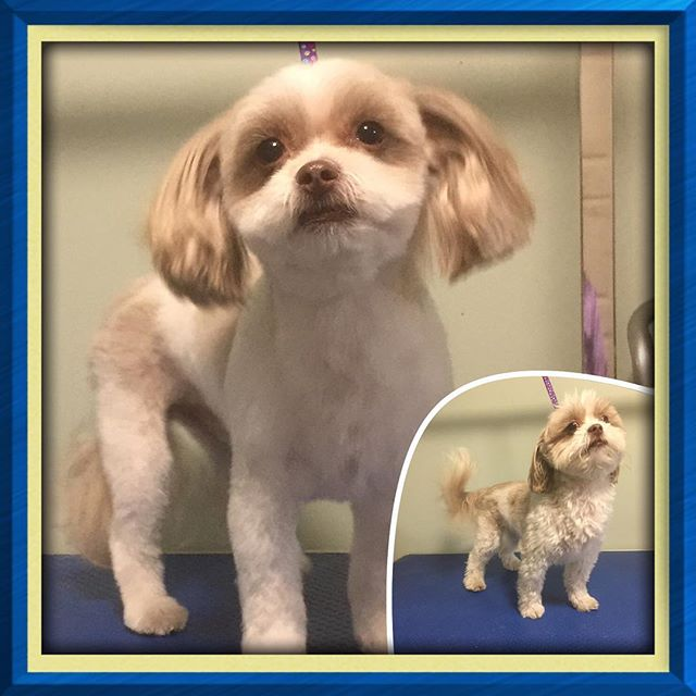 Peter may be a challenge to snap a photo of, but he sure is cute! - - - - #instadog #dogsofinstagram #doggrooming #glenora #westmount #northglenora #yegdogs #pawsitivepetsyeg #yegpets #yeg #yeggrooming