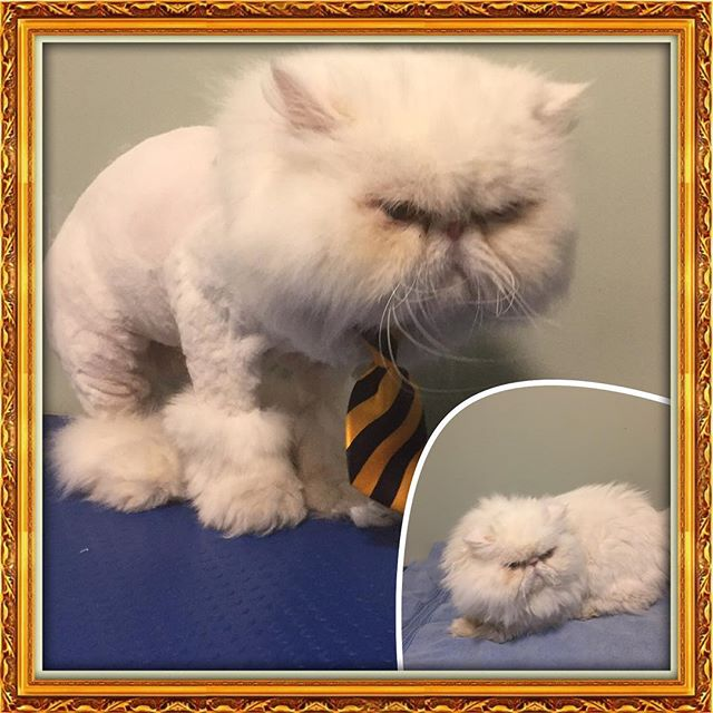 ChiChi was in for a new do!  What a sweet and gentle boy! ❤️ - - - -  #glenora #westmount #northglenora #yegdogs #pawsitivepetsyeg #yegpets #yeg #yeggrooming  #yegcats #persian #uggboots