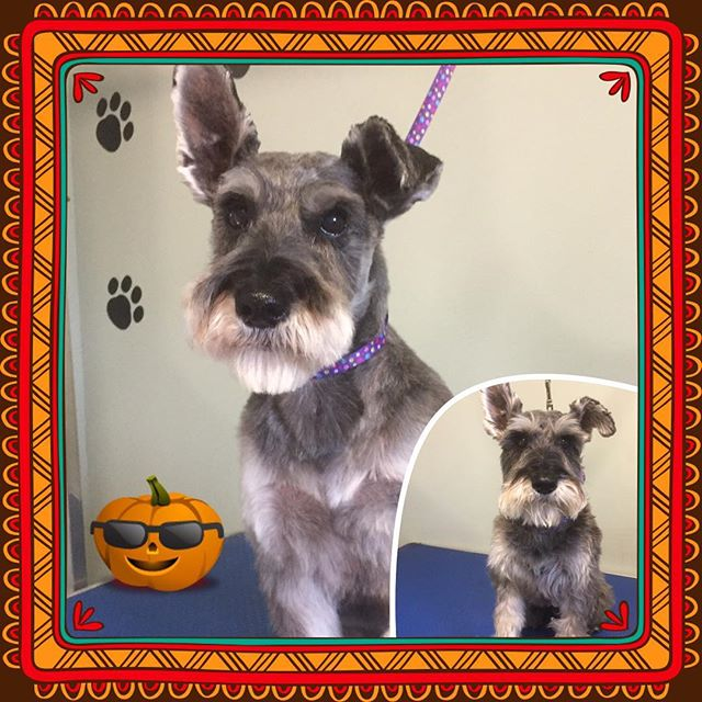 Garçon looking fabulous for this beautiful fall day. - - - - #instadog #dogsofinstagram #doggrooming #glenora #westmount #northglenora #yegdogs #pawsitivepetsyeg #yegpets #yeg #yeggrooming