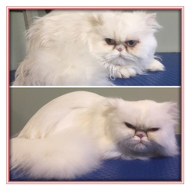 Pam before and after.  Love this kitty! 😍 - - - - #glenora #westmount #northglenora #yegdogs #pawsitivepetsyeg #yegpets #yeg #yeggrooming  #yegcats #catsofinstagram #catgrooming #persian #cats