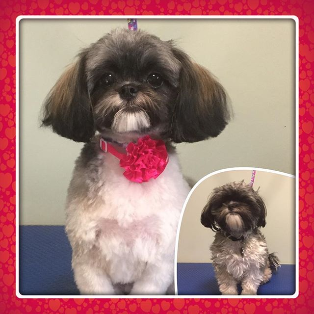 Olive came in for her first full haircut today.  I'm totally in love 😍 - - - - - #instadog #dogsofinstagram #doggrooming #glenora #westmount #northglenora #yegdogs #pawsitivepetsyeg #yegpets #yeg #yeggrooming