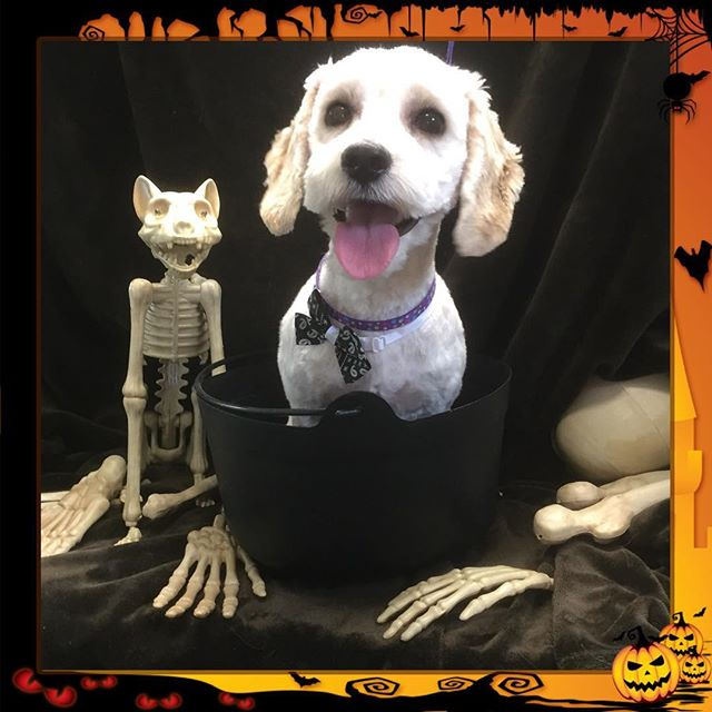 I don't think Buddy is quite done yet. 👻 - - - - #instadog #dogsofinstagram #doggrooming #glenora #westmount #northglenora #yegdogs #pawsitivepetsyeg #yegpets #yeg #yeggrooming #stew  #spooky #halloween