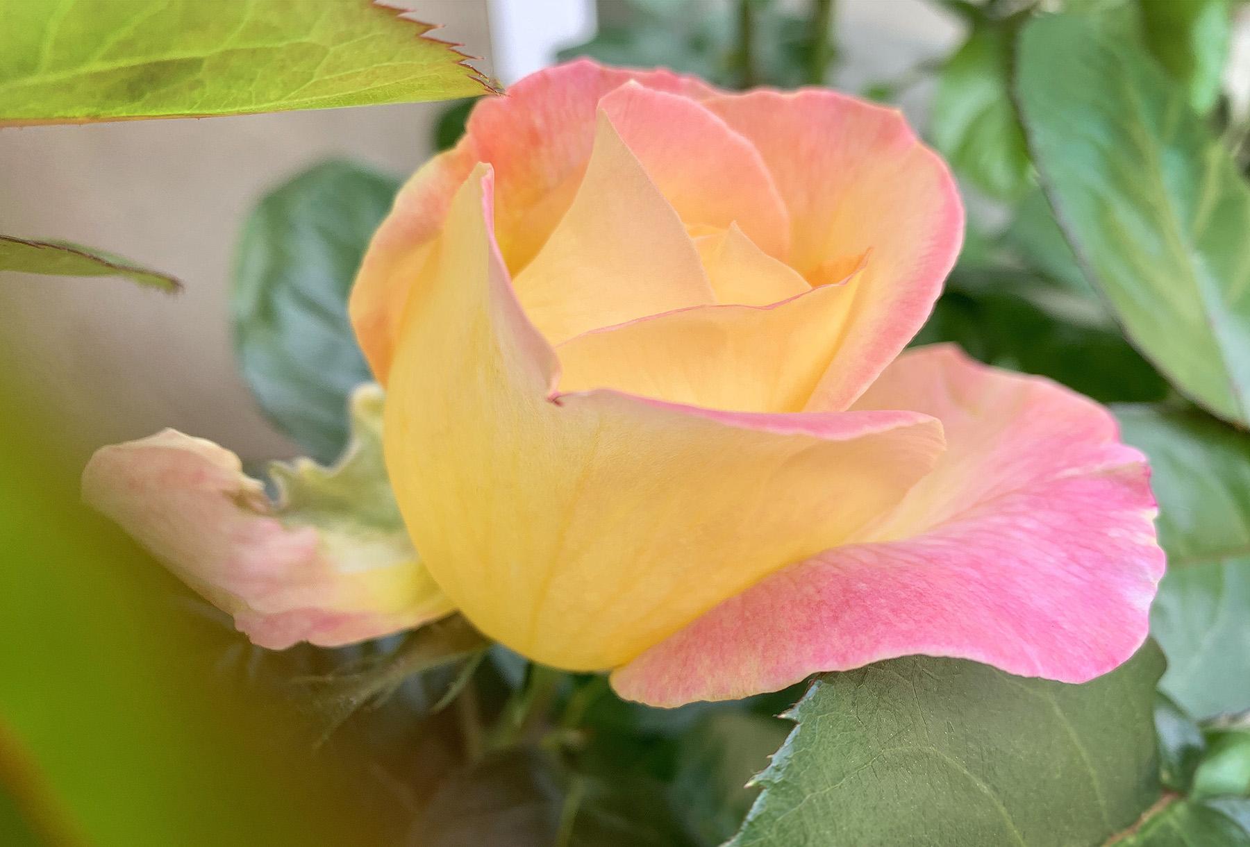 1st Rose  May 28 2019 .jpg