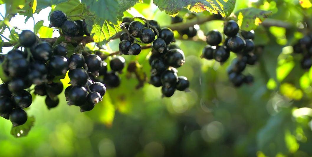 blackcurrant-nutrition.jpg