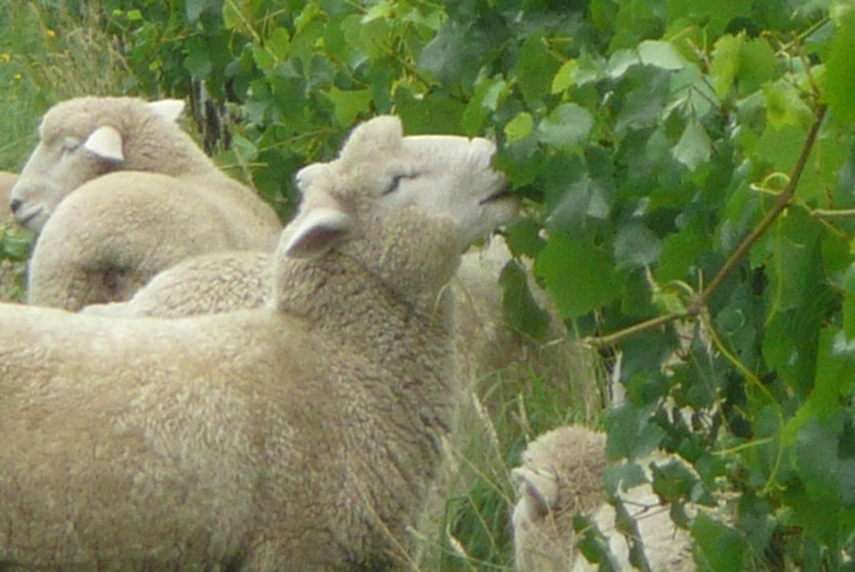 Sheep Leaf Plucking_1500.jpg