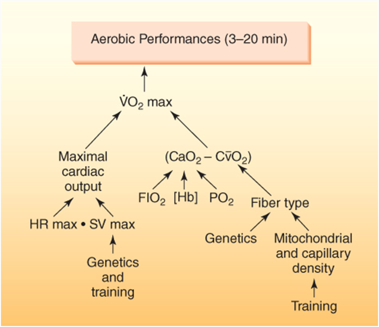 Source: Powers, S. & Howley, E.  Exercise Physiology: Theory and Application to Fitness and Performance. (McGraw - Hill Educations, 2012) Ch19 Fig 19.6.