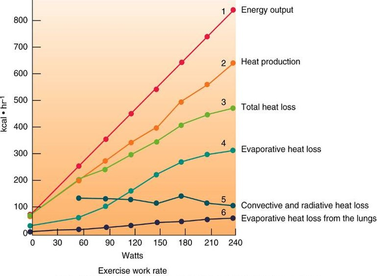 The relationship between energy output, heat production, and heat loss.