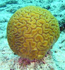 220px-Brain_coral.jpg