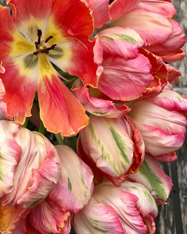 The parrot tulips really stole the show this Spring. Still mesmerized!