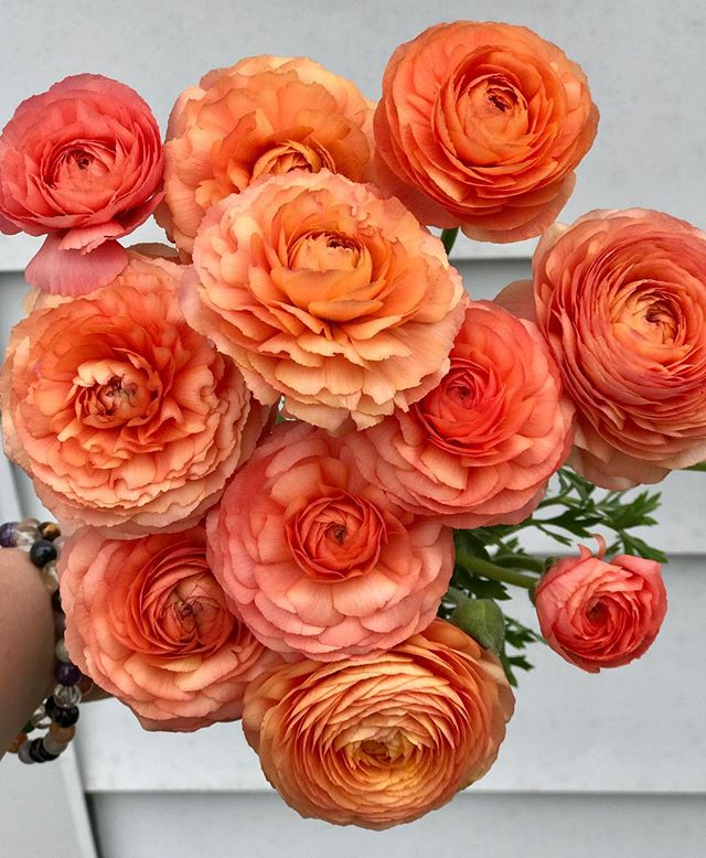 Peach Ranunculus still going strong. 🍑💪