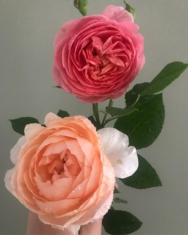 First blooms of Ambridge and Boscobel. They're all rain kissed, but still look maaarvelous darling. 😘