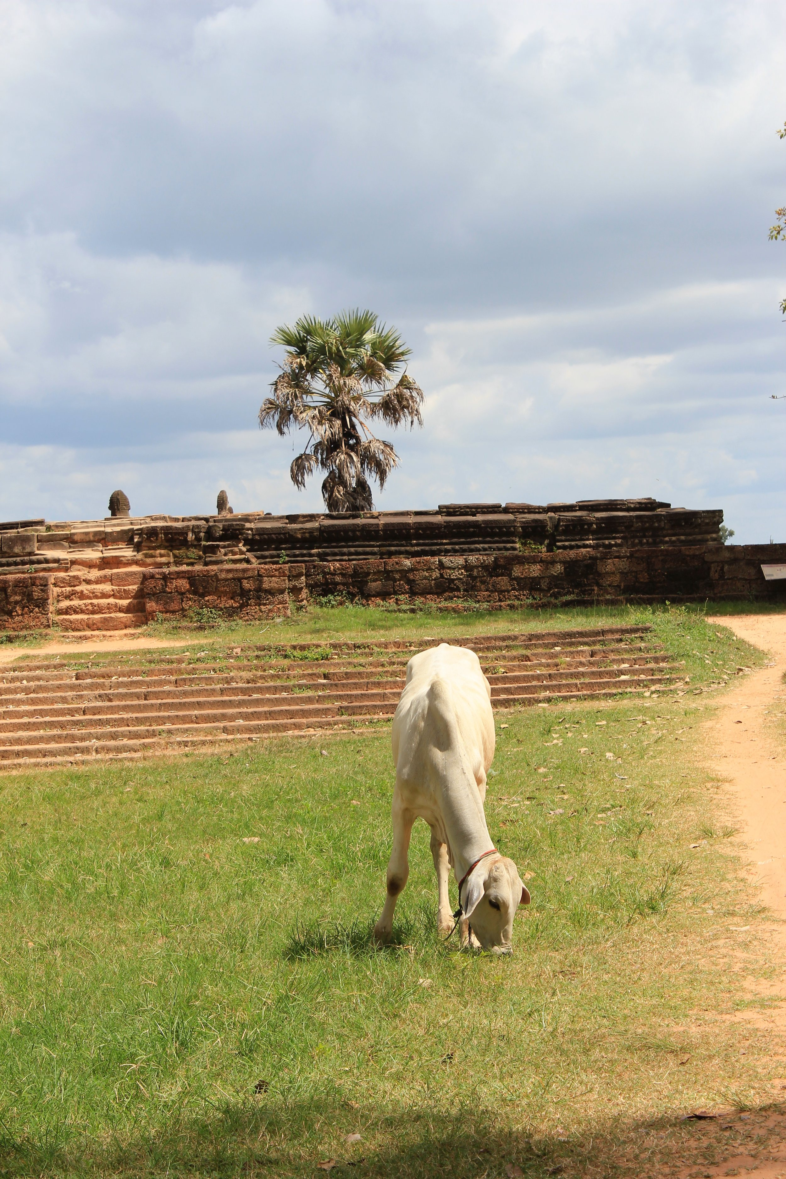 Sacred Cow on the Banks of Srah Srang