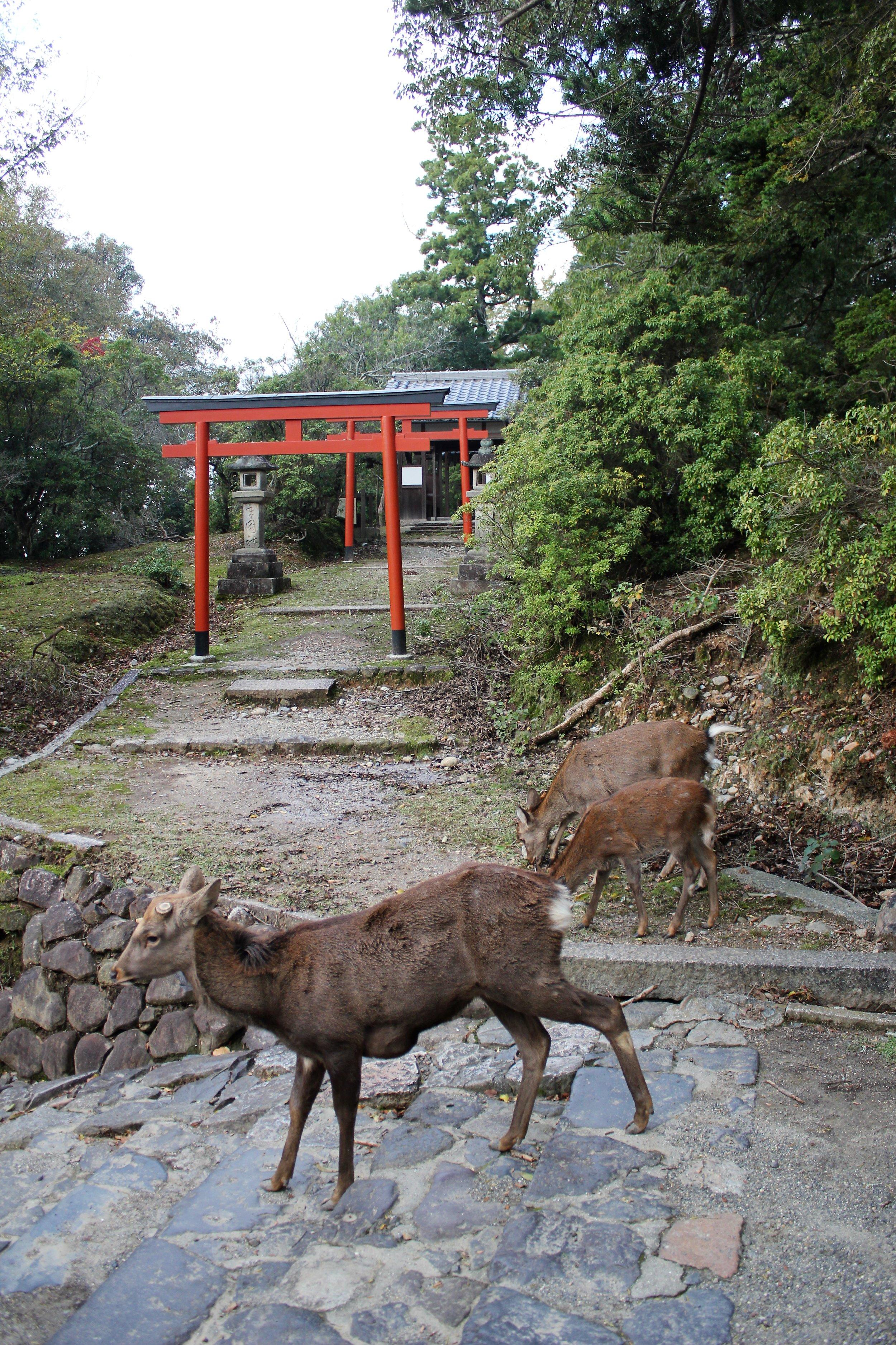 Family of Deer in Nara Park Japan