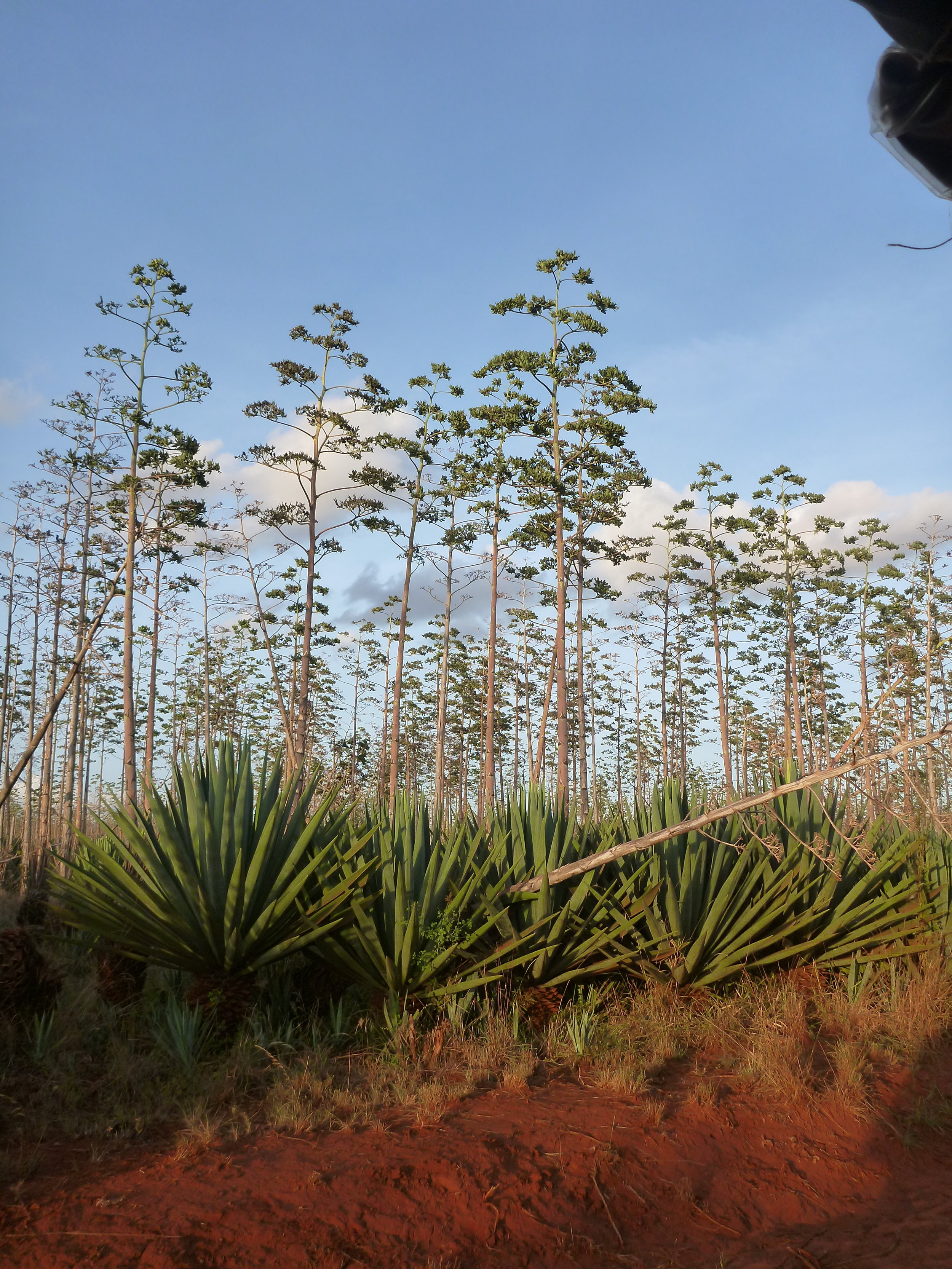 1 sisal plant.JPG
