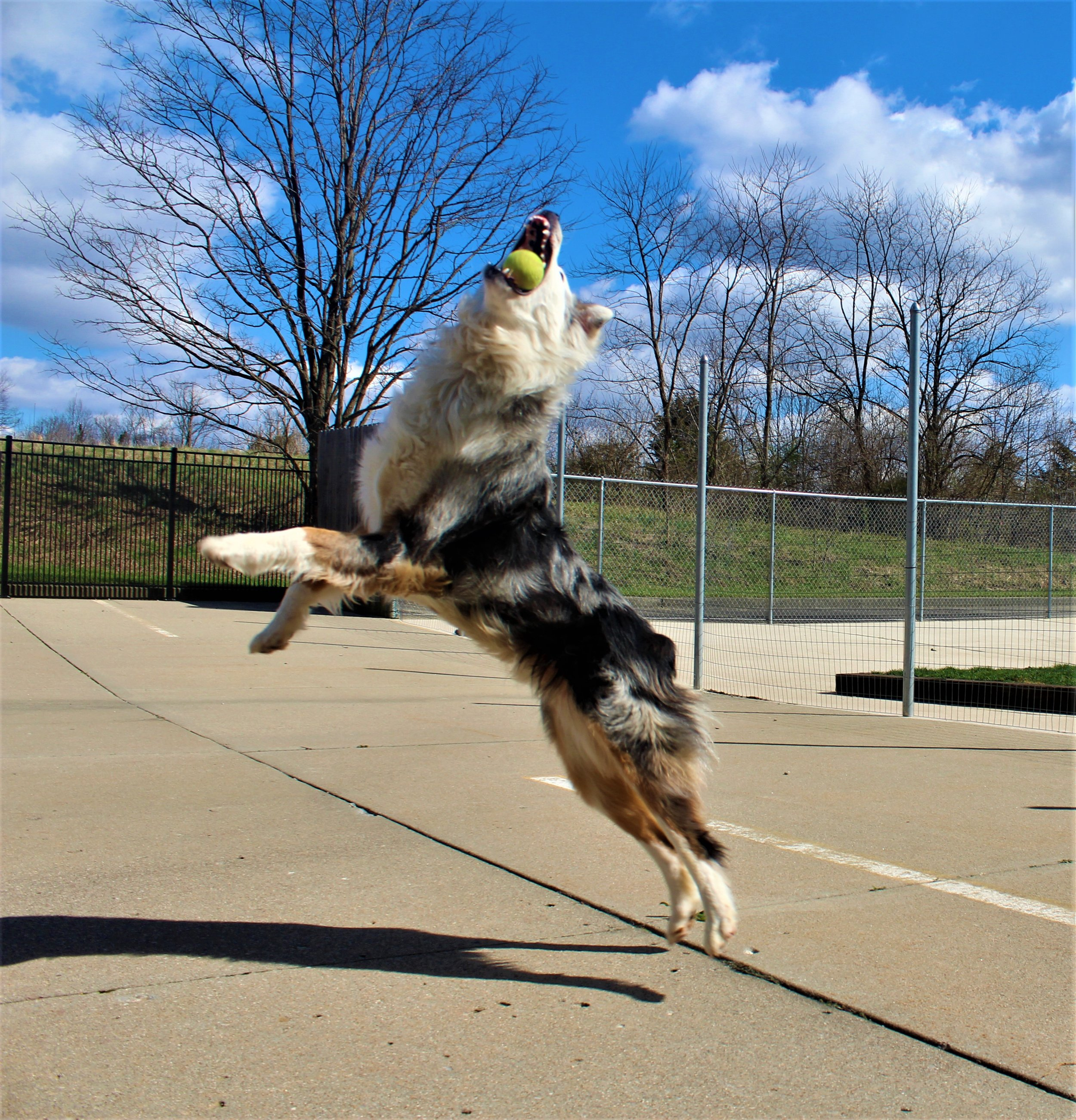 Arnie is quite possibly the best dog athlete that's ever come through here. This dog could catch a tennis ball straight out of the air. This picture is the the very essence of his abilities. Like a football wide receiver catching a ball inbounds many of the other daycare dog cheered wildly!