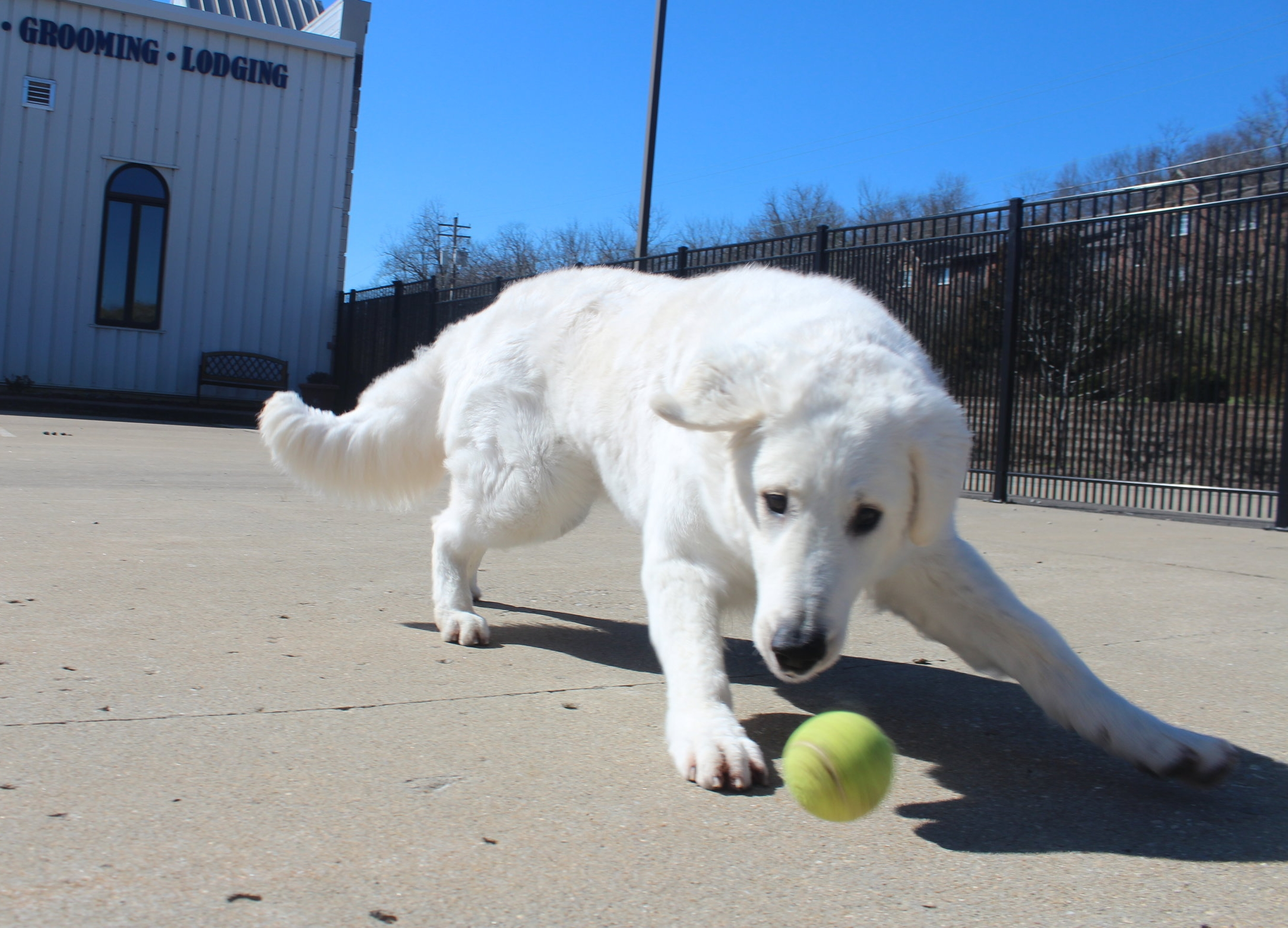 Mo'ne is our most famous dog that's ever come through Pet Nation Lodge. A famous show dog, she's competed in many dog shows including the world famous Westminster Dog Show. She's also great at catching tennis balls too!