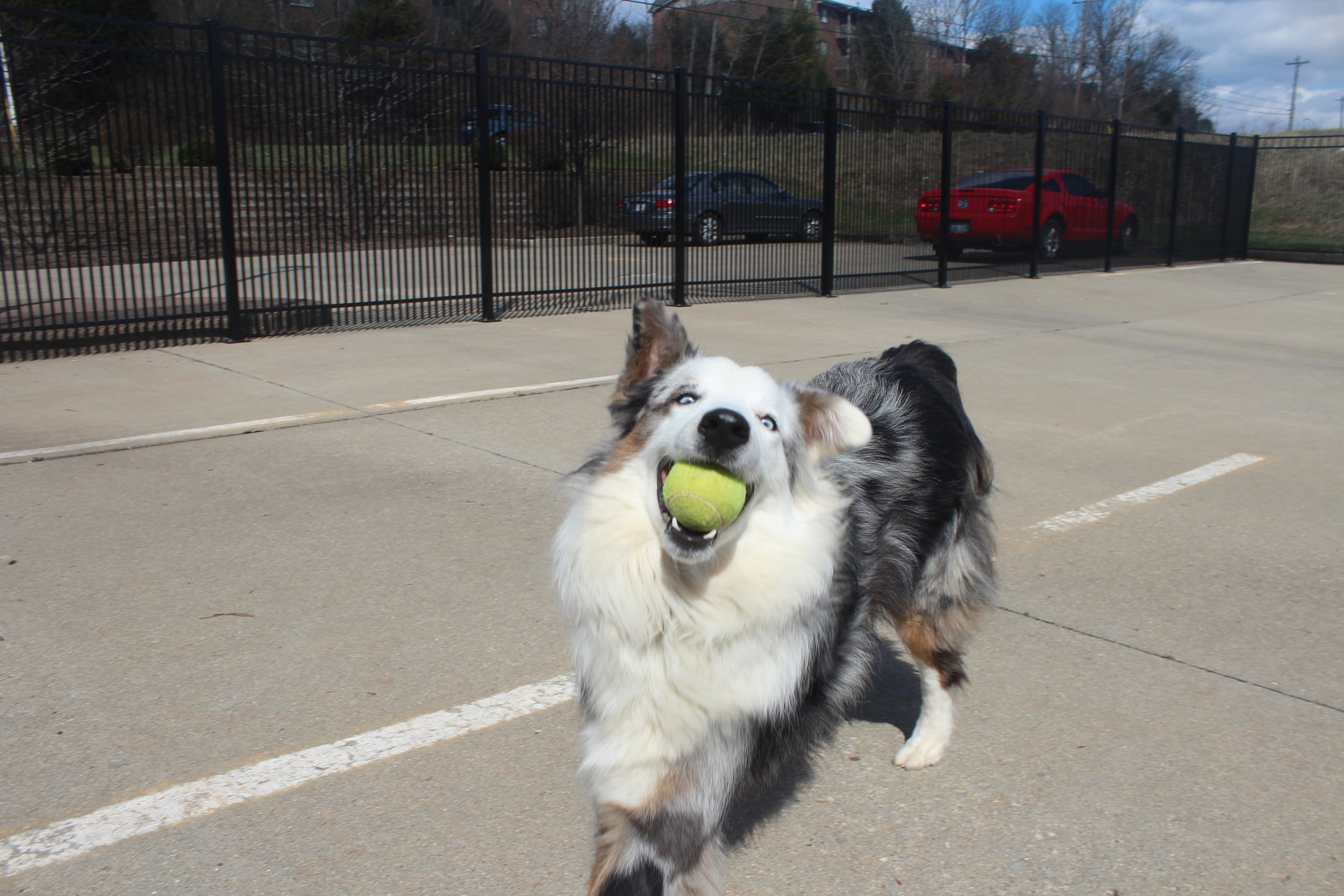 Arnie the dog loves tennis balls. He's definitely in the top 5 of boarding and daycare dogs who take tennis balls seriously. In order just to keep up with Arnie you mostly need to have at least played in the Minor Leagues. You're arm will certainly go numb after awhile.