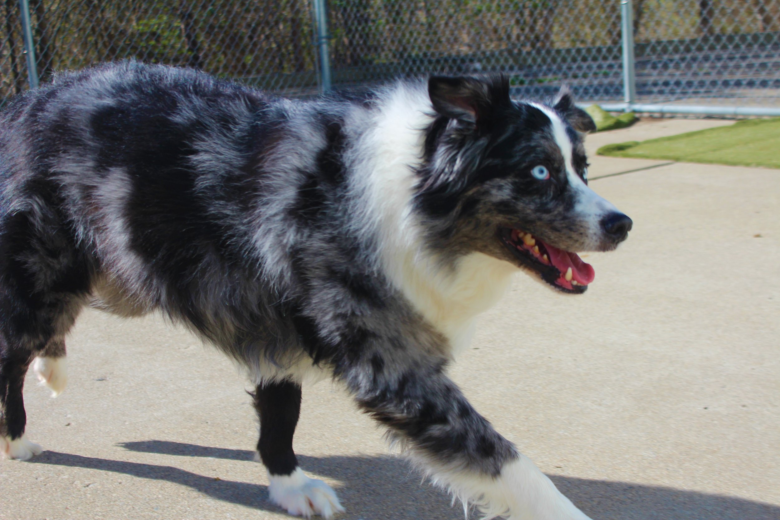 Blue is the goofiest blue-eyed Australian Shepard we've ever met. He's the type of dog that can turn heads and definitely make you smile. Pet Nation Lodge loves his personality.