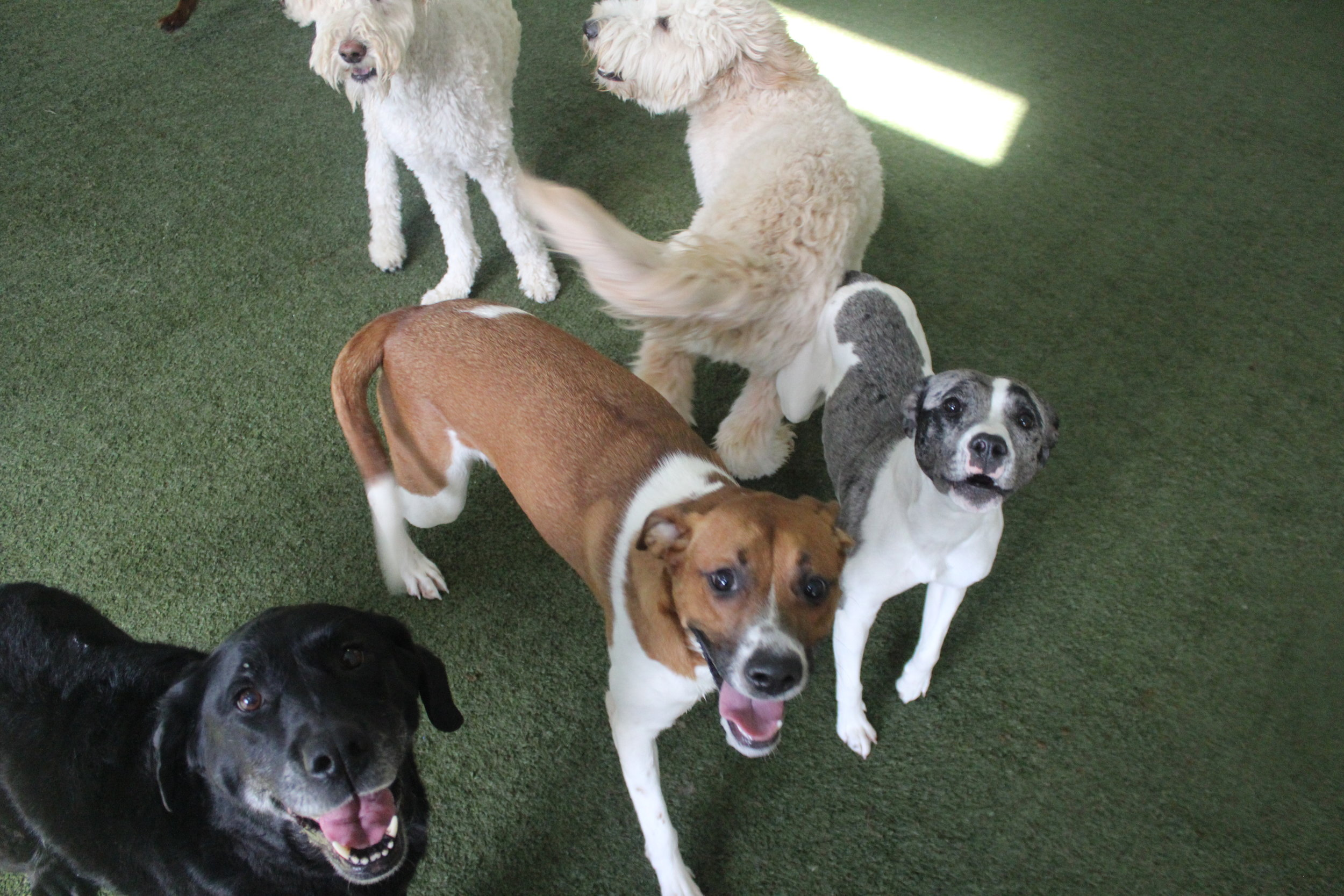 Pet Nation Lodge Daycare Dog Greta 4
